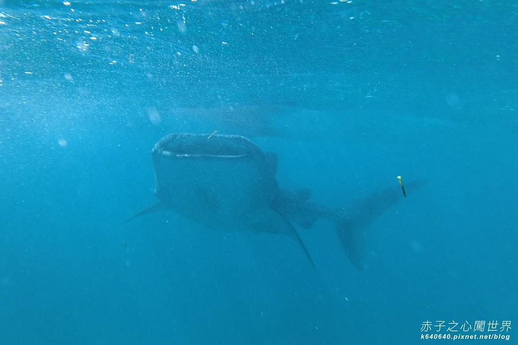 宿霧鯨鯊游泳-Oslob Whale Shark-012
