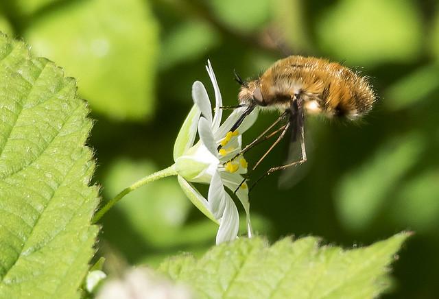 Bee-fly 371  (18)