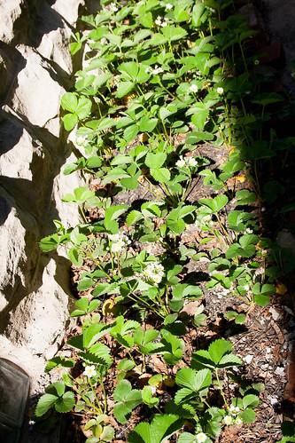 26strawberries.jpg
