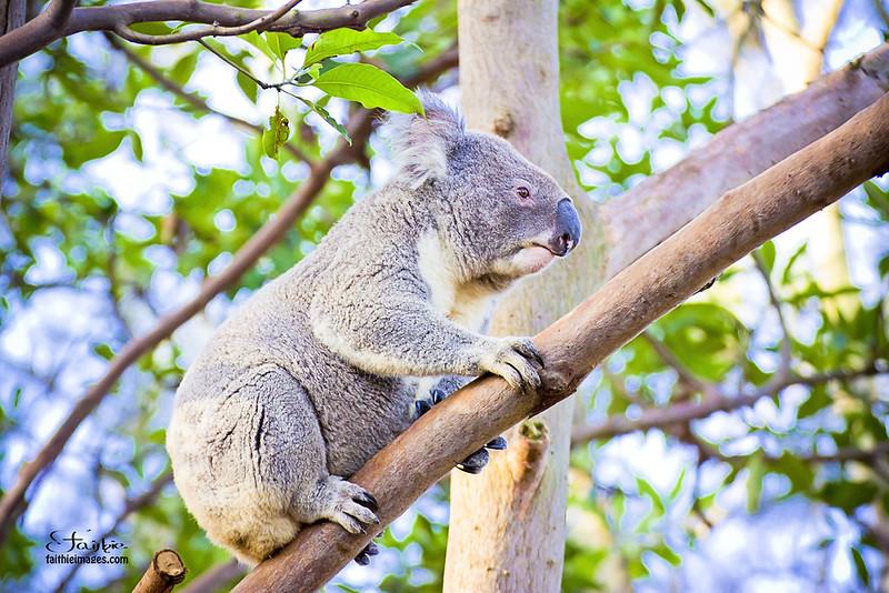 Koala climbing tree branches