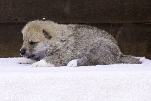 Anya-Litter1-20Days-Puppy6(Male)c