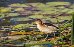 Wetland birds and Waders