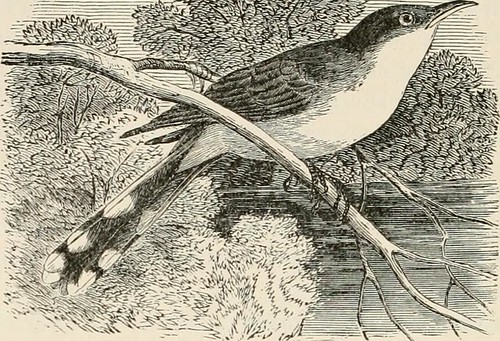 """Image from page 511 of """"A popular handbook of the ornithology of eastern North America"""" (1896)"""
