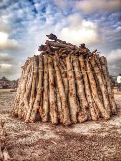Mangrove Logs