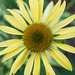 Echinacea (detail) by InnesAlison