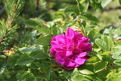 blossom(0.0), garden roses(0.0), rosa 㗠centifolia(0.0), rosa rubiginosa(0.0), rosa canina(0.0), rosa acicularis(0.0), rosa rugosa(0.0), annual plant(1.0), shrub(1.0), flower(1.0), rosa gallica(1.0), plant(1.0), flora(1.0), petal(1.0),