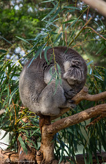 nest(0.0), koala(0.0), bird(0.0), animal(1.0), branch(1.0), zoo(1.0), tree(1.0), nature(1.0), marsupial(1.0), fauna(1.0), wildlife(1.0),