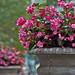 Bryant Park Begonia
