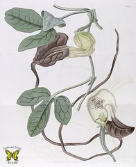 Dutchman's pipe. Aristolochia macroura. Vigorous vines covered in maroon flowers, with tails up to 1 m long. Odor attracts insects, sepals form tube that traps them. When stamens mature, insects released coated in pollen. (1831) [J. Lindley]