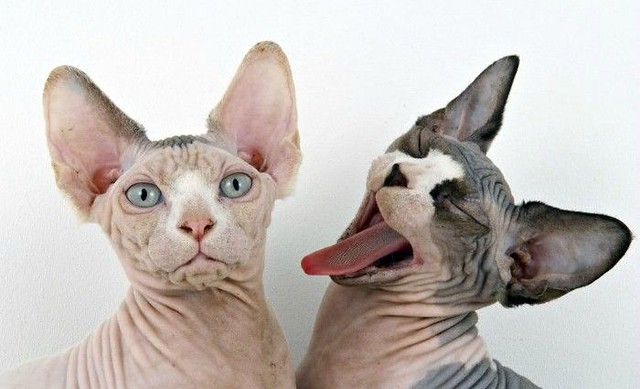 1_two-sphynx-cats.jpg