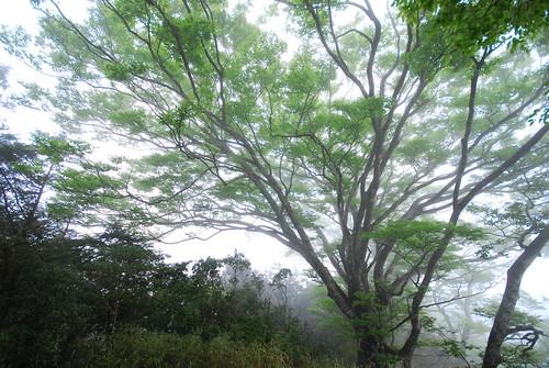 台灣特有種水青岡,位於大白山族群面臨人為開發壓力。(圖片來源:林務局)