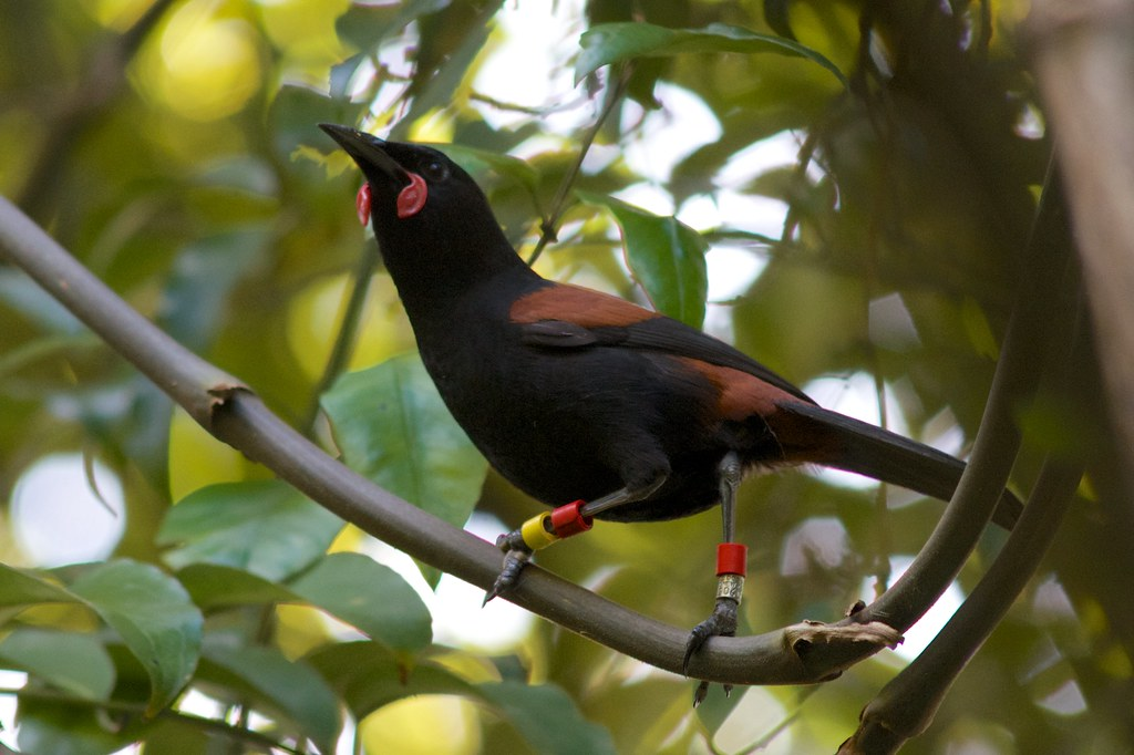 North Island Saddleback - Photo (c) Jon Sullivan, some rights reserved (CC BY-NC)