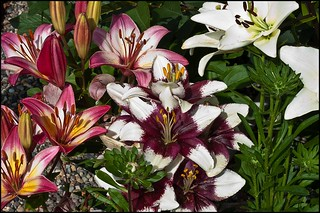 Lily Variety