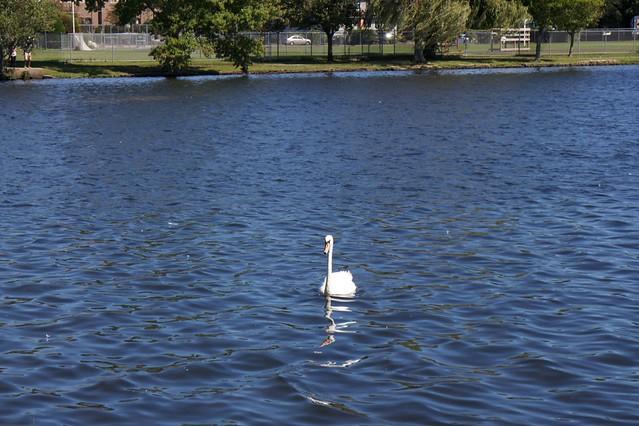 Swans in Argyle Lake