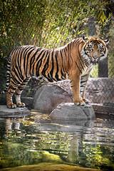 Sumatran Tiger 05-31-14