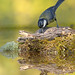 Chapim-real (Parus major) Great-Tit by jaygum_photo