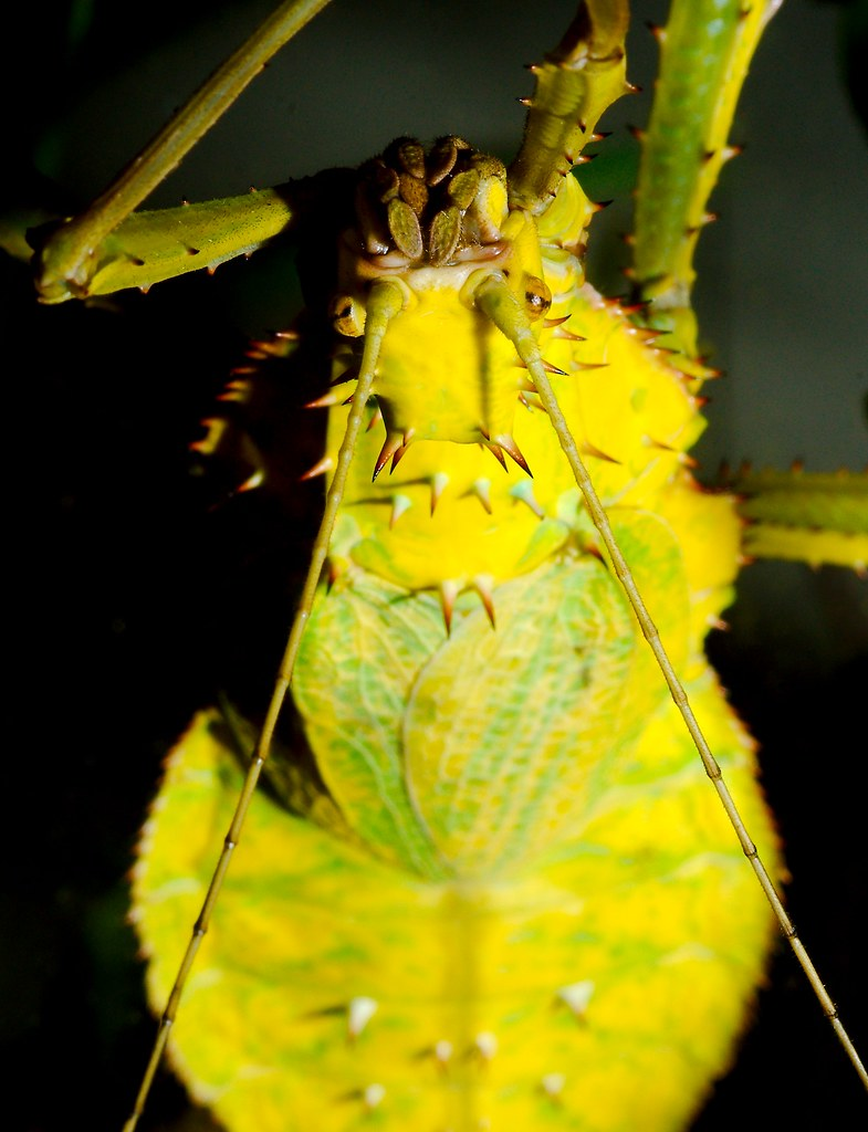 Giant Spiny Leaf Insect (Heteropteryx dilatata)_3