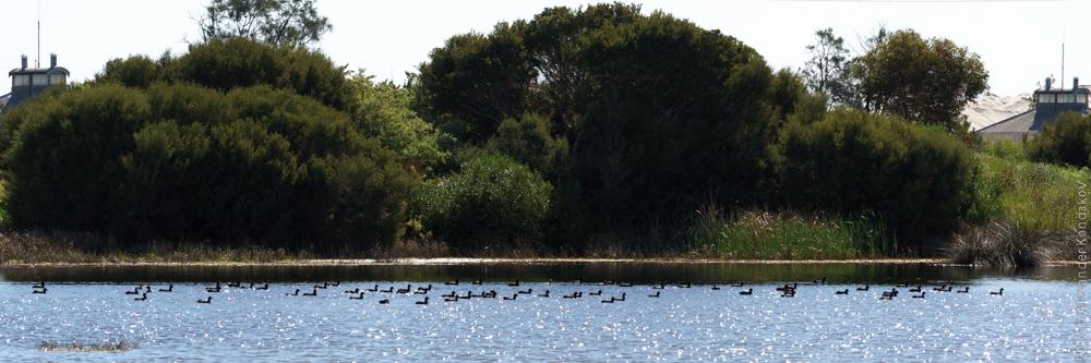 Birds SA Adelaide-12