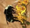California Bumble Bee, Bombus californicus by richarde2812