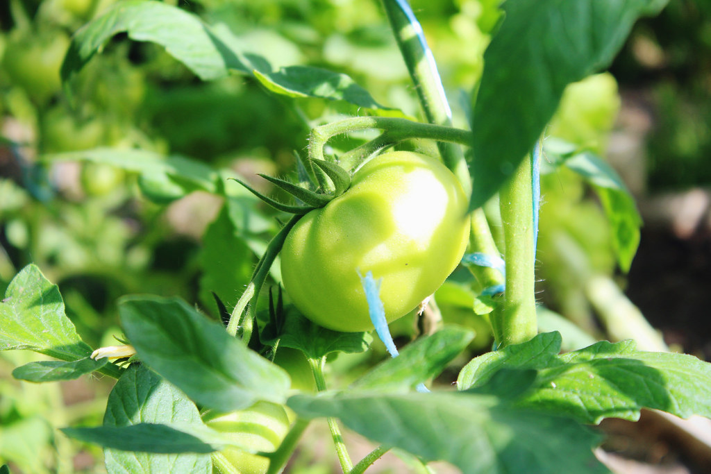 photography-blog-tomatoes