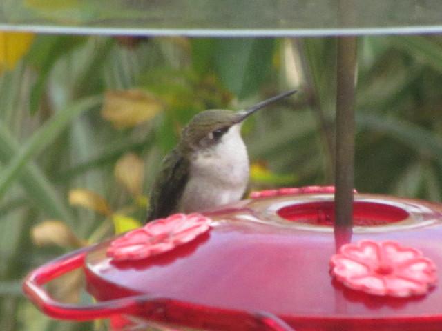 Hummingbird3 9:19:14