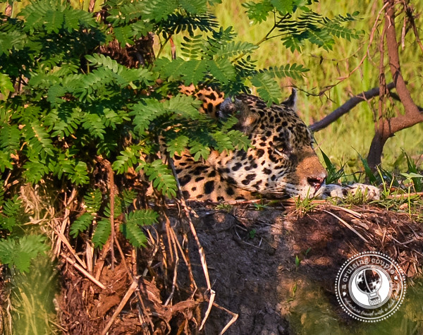 Jaguar Resting in the Pantanal
