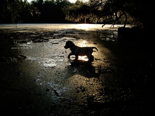 sunset summer sunlight water leaves animal silhouette river puppy lab labrador glow branches serbia sunny glowing sunrays tisa yellowlabrador vojvodina waterscape srbija banat bytheriver riverscape munja kristinavf