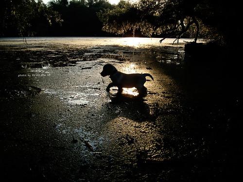 sunset summer sunlight water leaves animal silhouette river puppy lab labrador glow branches serbia sunny glowing sunrays tisa yellowlabrador vojvodina waterscape srbija banat bytheriver riverscape munja kristinavf