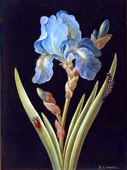 Blue Iris on Black 2. Blue Iris (germanica) caterpillar and red backed beetle. Barbara Regina Dietzsch. 18th Century.  Bodycolour and watercolour on prepared black ground within gold border, on vellum.