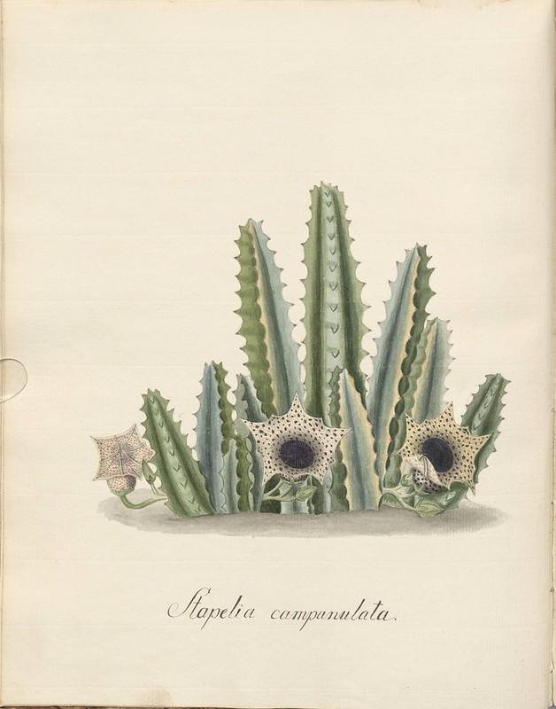 Stapelia plant 1700s (sketch)