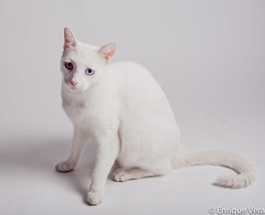 animal, khao manee, small to medium-sized cats, pet, burmilla, javanese, thai, tonkinese, cat, carnivoran, whiskers, balinese, domestic short-haired cat,