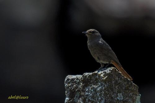 Phoenicurus ochurus_Rabirruivo preto (in Wild)