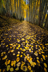 Paved with gold...  Aspen grove, Country Road 5, Colorado