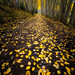 Paved with gold...  Aspen grove, Country Road 5, Colorado [Explored] by jason_frye