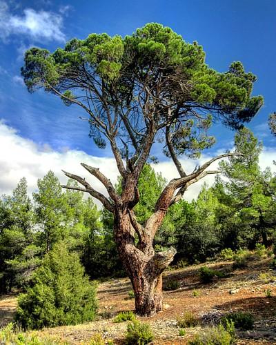 Pino del Guapero, majestuoso pino doncel con veinte metros de altura. En Casasola, Alcadozo (Albacete, Spain)