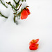 Rose #1 by brunoduchene