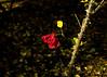 201611-21_Last Rose of Autumn