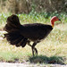Small photo of Australian brush-turkey Alectura lathami