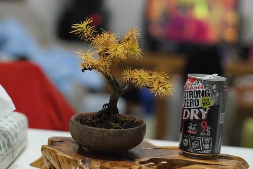 カラマツ盆栽