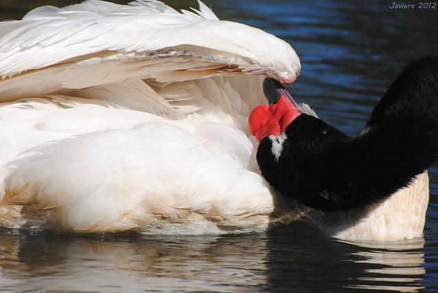 Cisne de cuello negro / Black-necked swan (Cygnus melancoryphus)