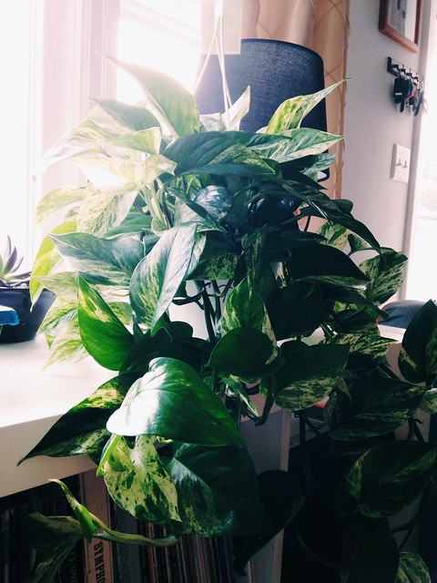 New houseplants (pothos)
