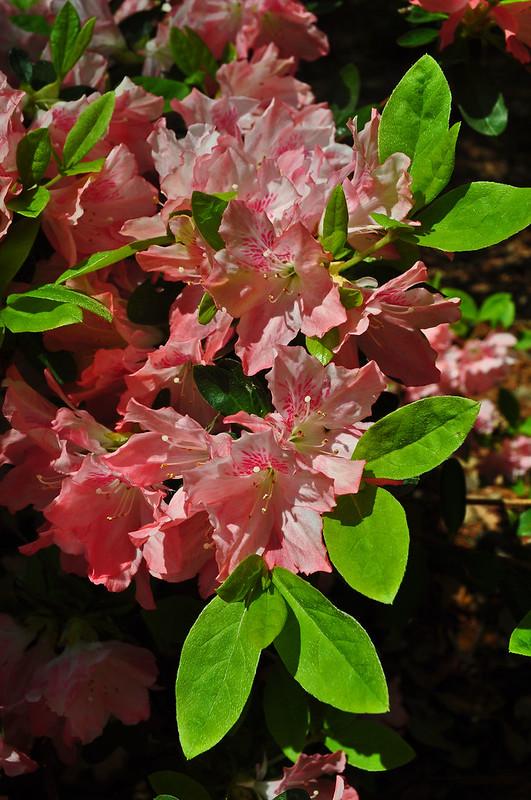 Rhododendron 'Dream Sherbert' (4)