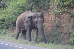 animal, indian elephant, elephant, elephants and mammoths, fauna, safari, wildlife,