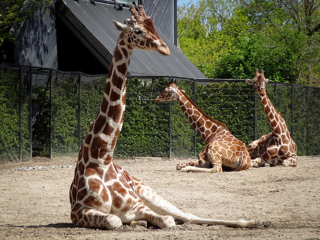 Giraffes at Copenhagen Zoo