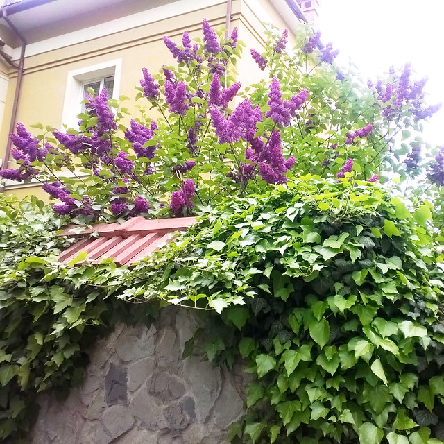 street flower. lilac. Lviv, Ukraine