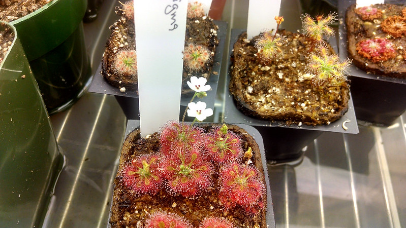Lots of Drosera allantostigma all together looking cute!