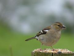 animal, sparrow, fauna, close-up, emberizidae, beak, bird,