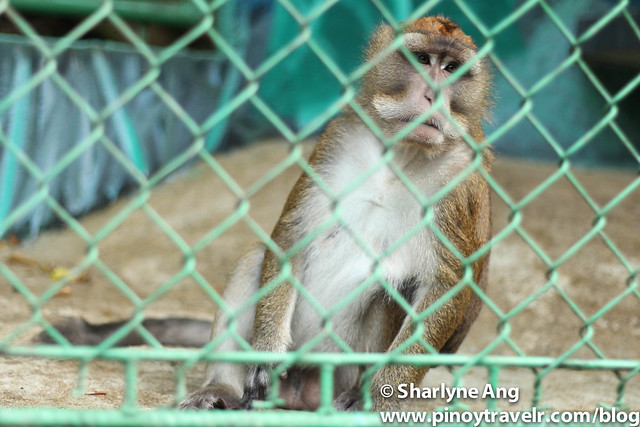 Philippine Macaque at the Sanctuary Garden Resort in Magdiwang, Sibuyan