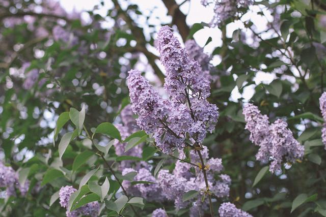 lilac6