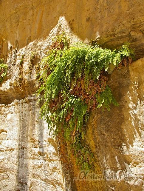 fern 0000 Nahal Arugot, Dead Sea, Israel
